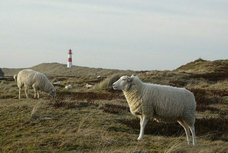 Schafe auf Sylt im Frühling