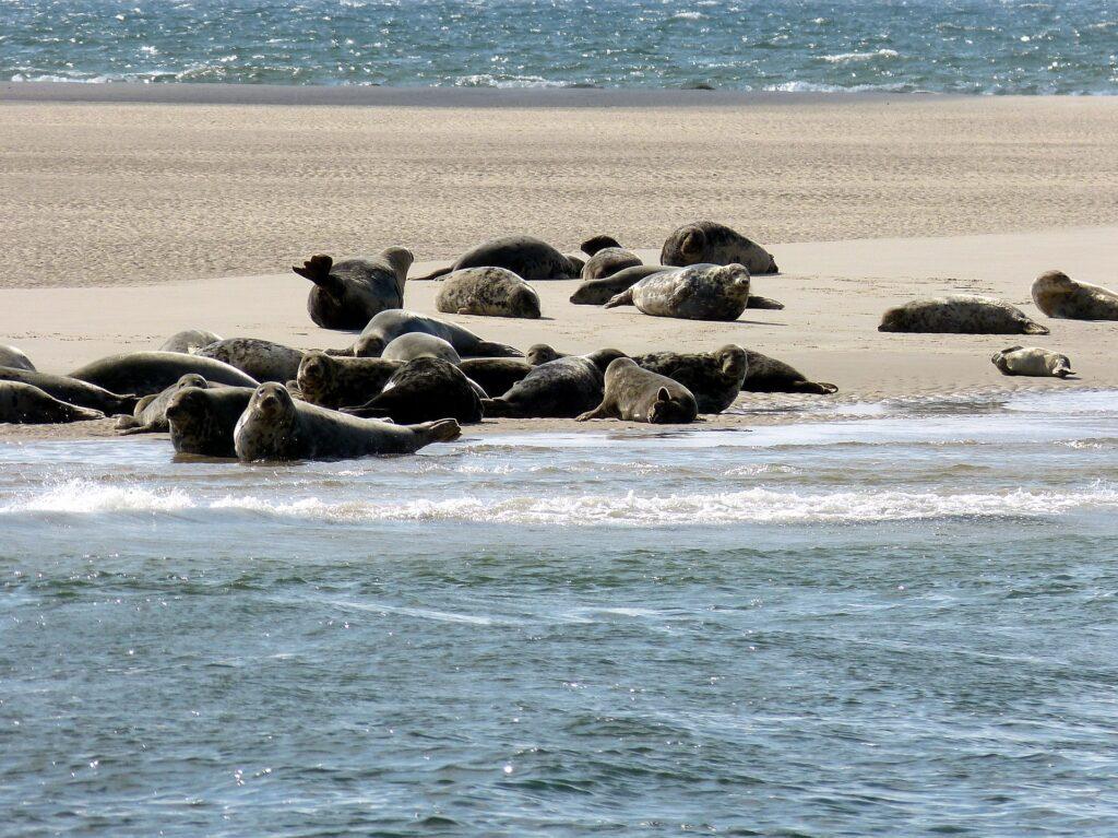 Robben auf Sylt